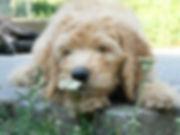 Verifed Doodle Breeders Labradoodl Goldendoodles