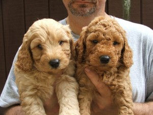 Goldendoodles Puppies in WV VA MD DC