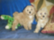 Puppiesfor sale from Verified Breeders