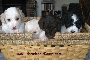 See Goldendoodle Puppies