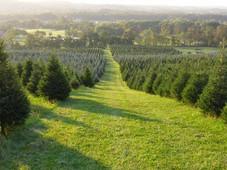 Snickers Gap Tree Farm