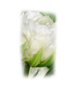 Tulipa Ice Age.jpg