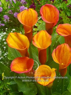 FA 15-0625 Zantedeschia Royal Pumpkin