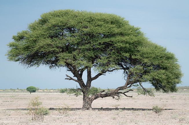 Lonely Tree Provides Vital Shade