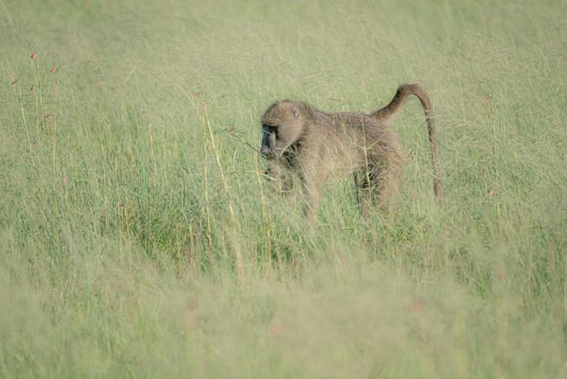 Baboon in a Field