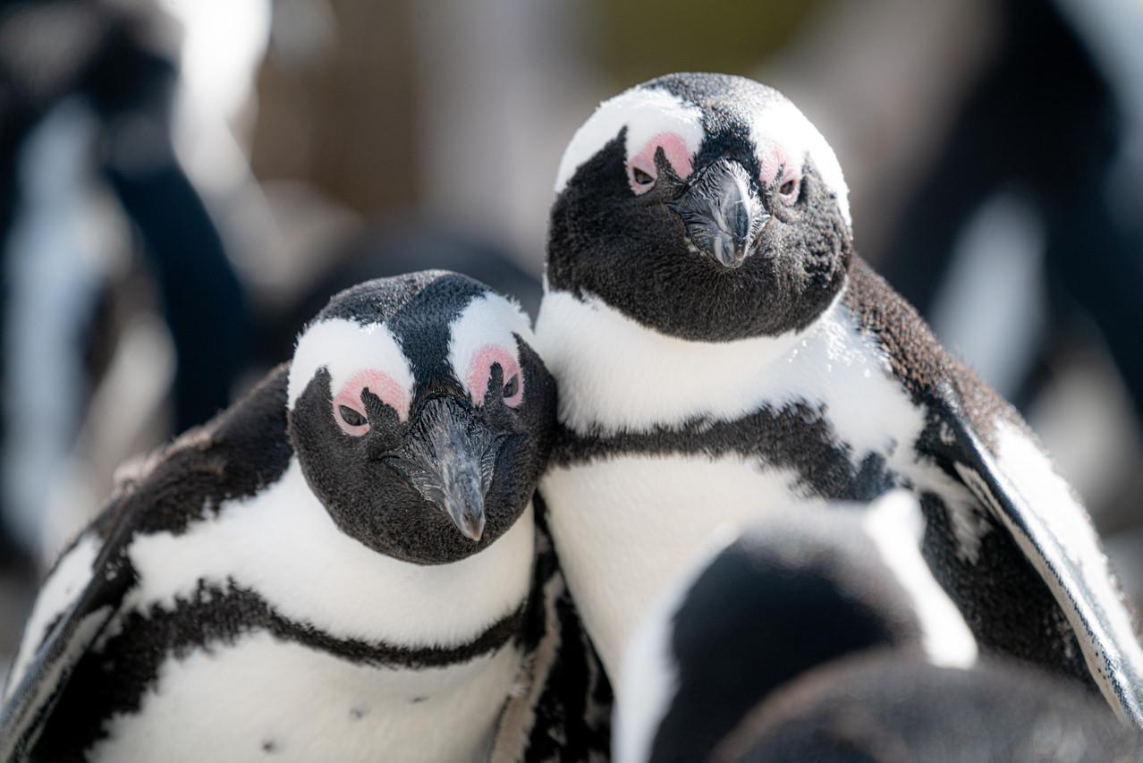 African Penguin Friends