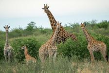 Giraffe Family Portrait