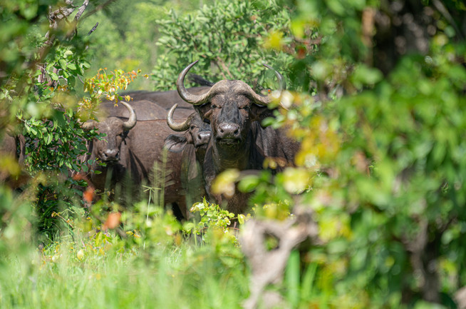 Water Buffalo in the Bush