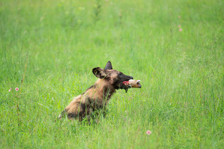 African Wild Dog after a Successful Hunt