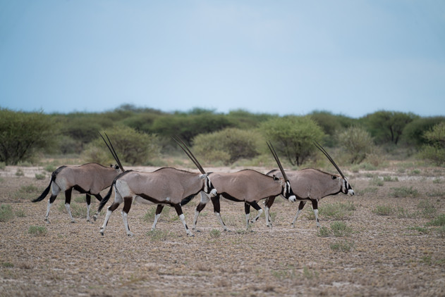 The Four Oryx