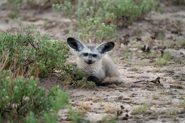 Bat-eared Fox