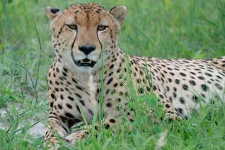 Resting Cheetah
