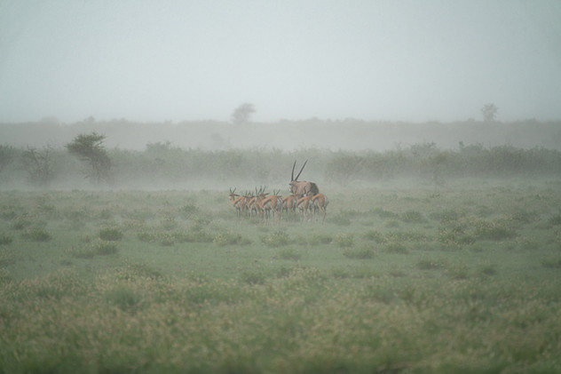 Oryx and Springbok Taking Cover during a Fierce Storm