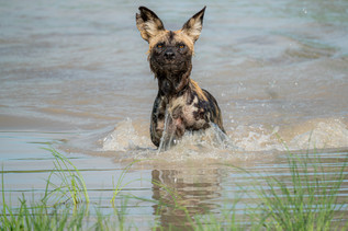 African Wild Dog Emerging from a Watering Hole