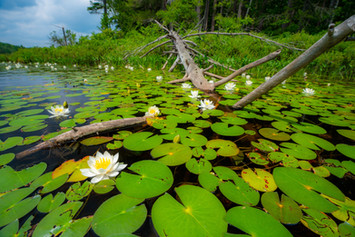 Lilly Pads in St. Regis Lake
