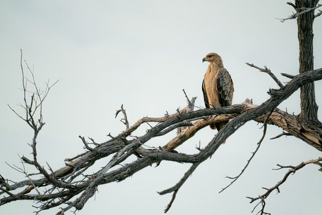 Resting Eagle