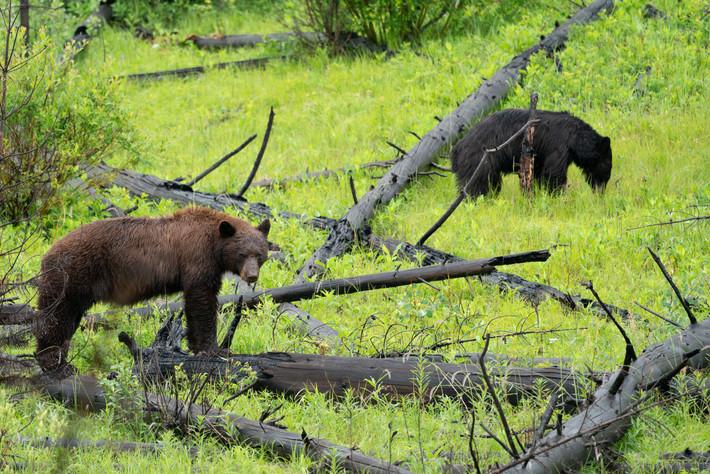 Black Bear along Bow River Drive