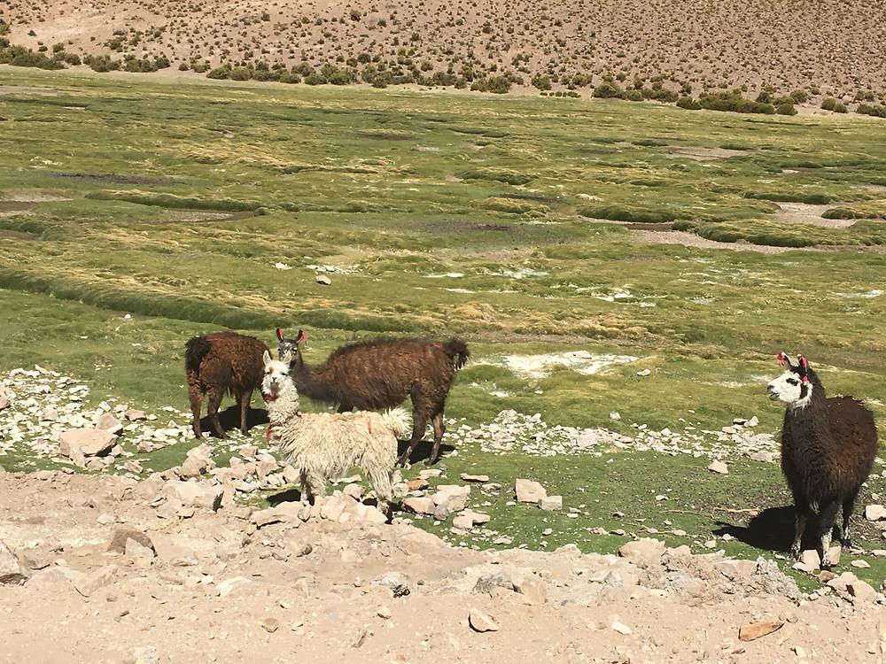 Lhamas no Deserto - viaje com pouco