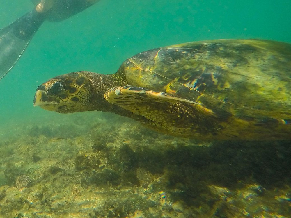 Viaje com pouco - Fernando de Noronha - Praia do Sueste - tartaruga