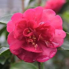 october magic rose.jpg