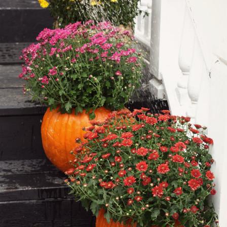 pumpkin mum.jpg