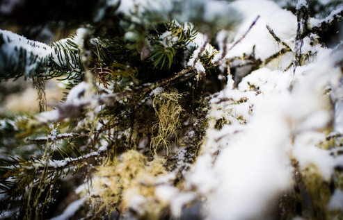 Snowy Lichen
