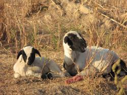村では貴重な家畜ヤギ