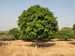 バックにはマンゴーの森が広がっています