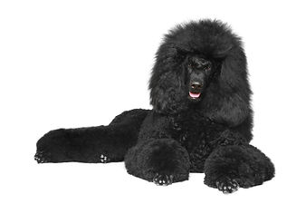 Black Royal poodle lying on a white back