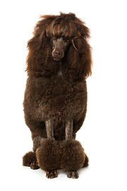 King poodle isolated on white.jpg
