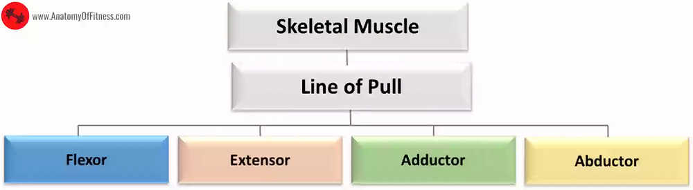Classification of Skeletal Muscles Based on ORIENTATION OF LINE OF PULL IN RELATION TO THE JOINT.