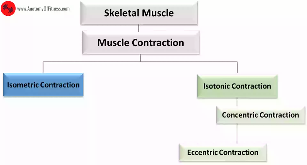 Classification of Skeletal Muscles based on type of MUSCLE CONTRACTION.