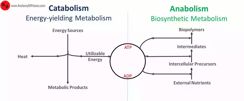 Metabolism - Catabolism Vs. Anabolism.