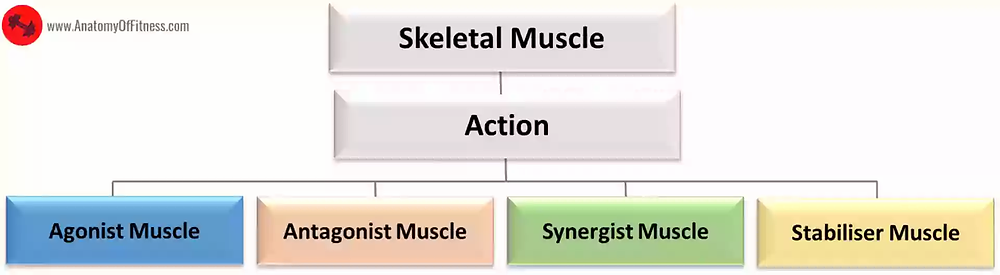Classification of Skeletal Muscles based on ACTION.Classification of Skeletal Muscles based on ACTION.
