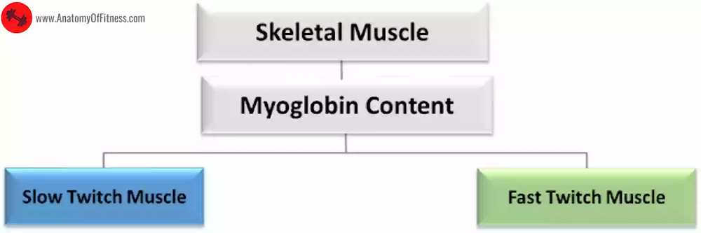Classification of Skeletal Muscles based on MYOGLOBIN CONTENT.