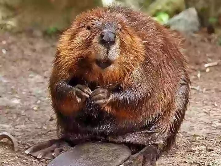 Beaver organs used as food additive.