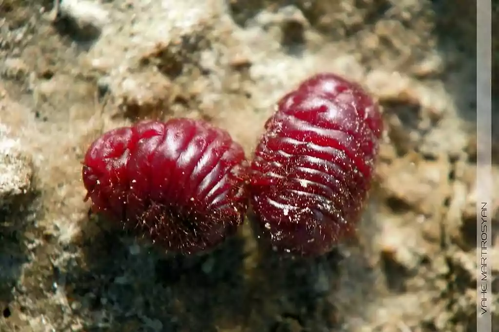 Cochineal Beetles used as food additive.