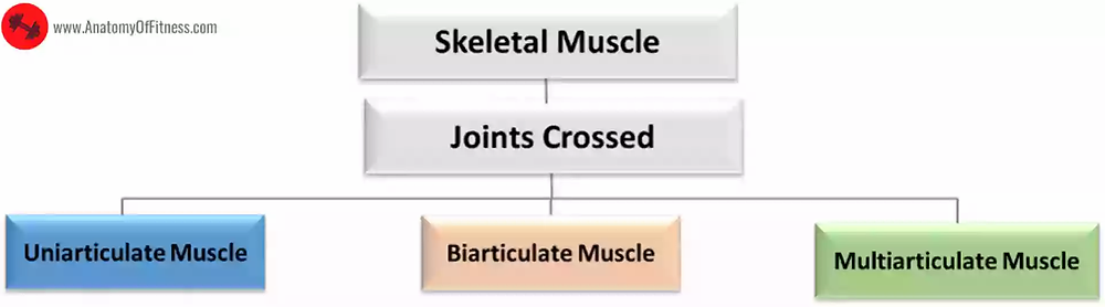 Classification of Skeletal Muscles based on NUMBER OF JOINTS CROSSED.