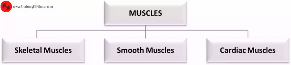 Classification of Muscles in the human body.