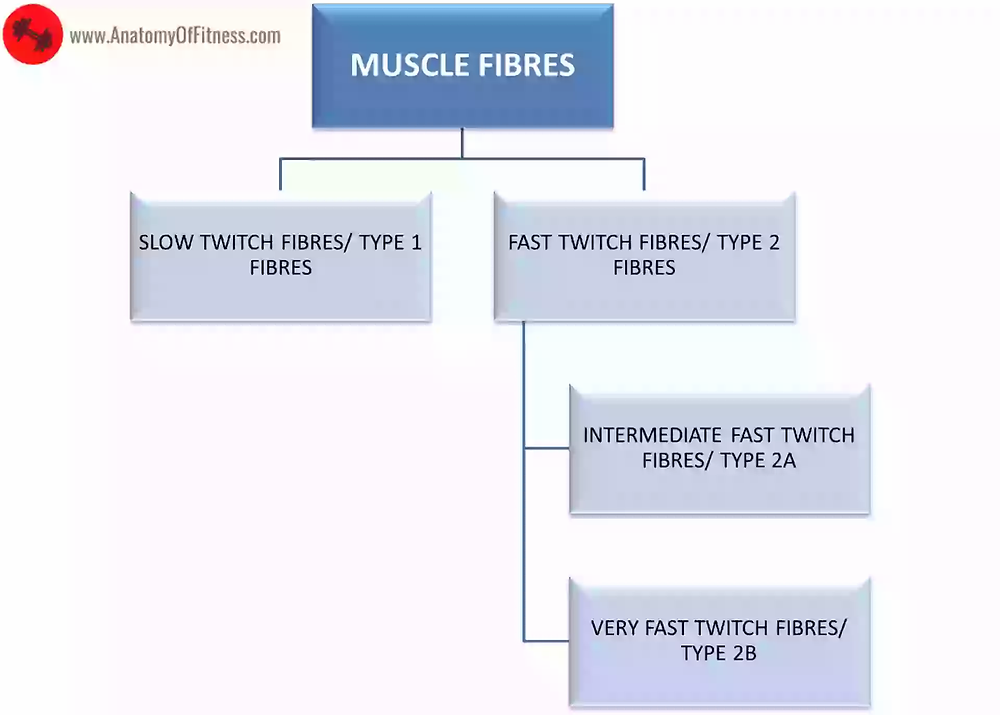 Type of MUSCLE FIBRES.