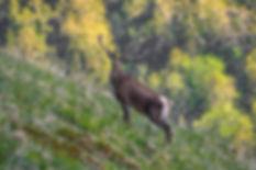 Кавказский олень
