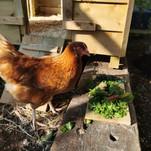 Marmalade the chicken