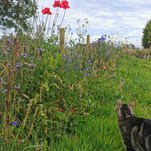 Custard the cat on her daily investigations around the veg patch!