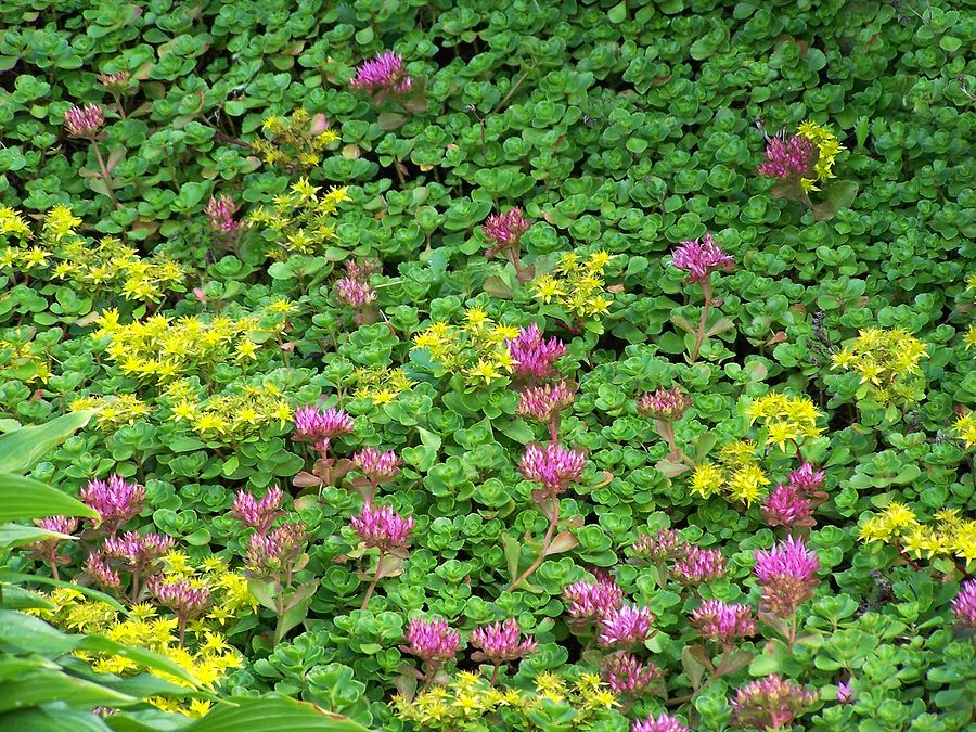 Sedum in Bloom