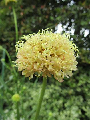 Scabiosa atropurpurea - Morgana Yellow - Sweet Scabious