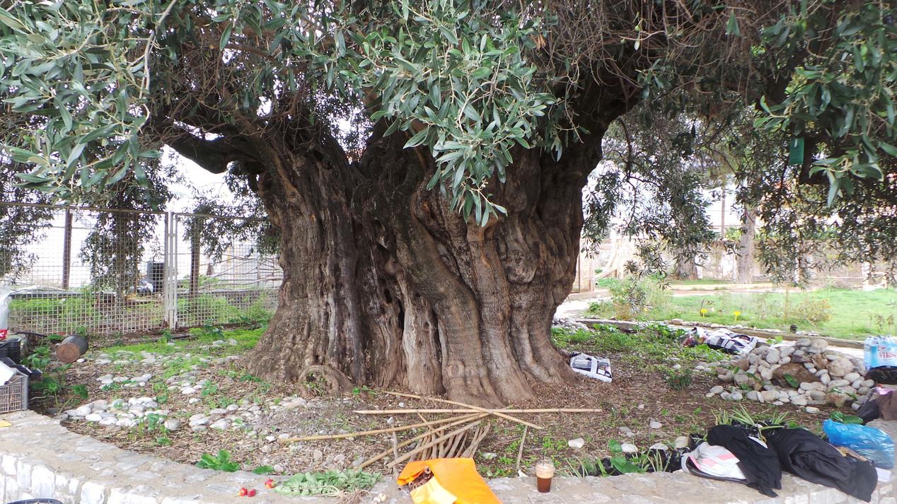 Kalamata olijfboom.JPG