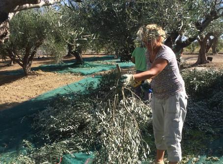 Olijven plukken op de Peloponnesos