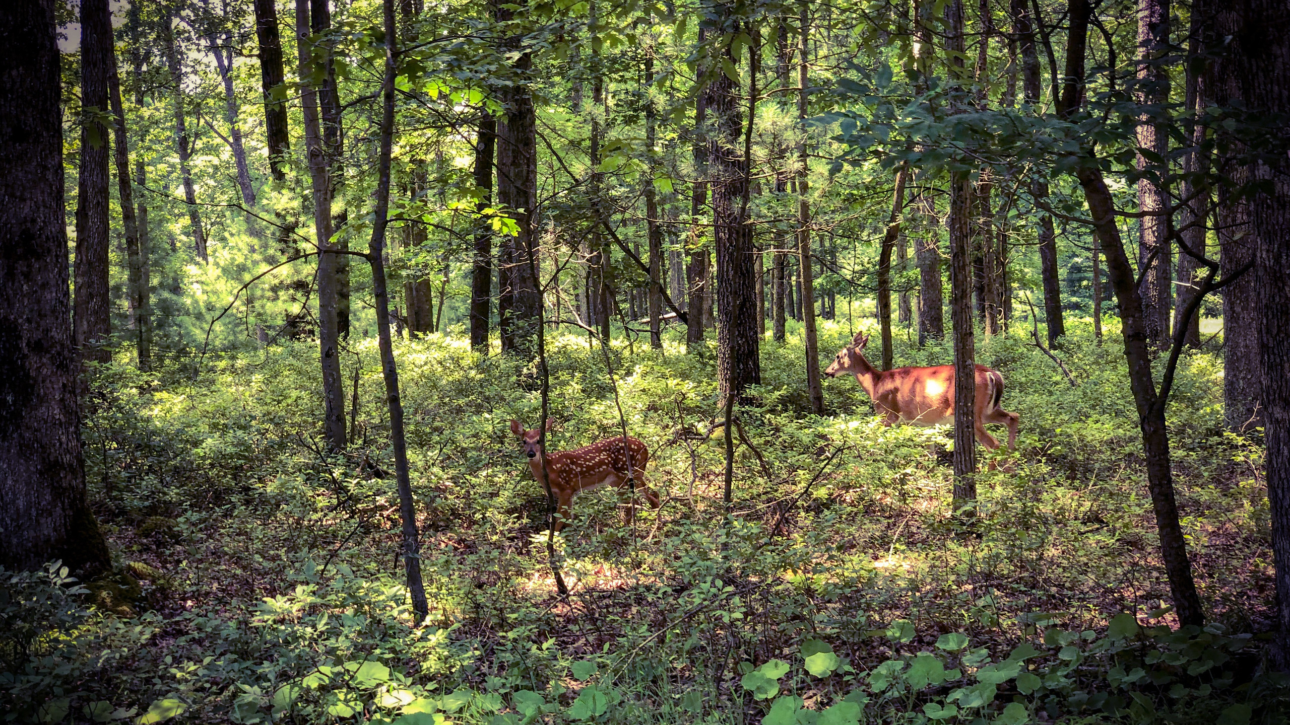 Mama Deer // Baby Deer