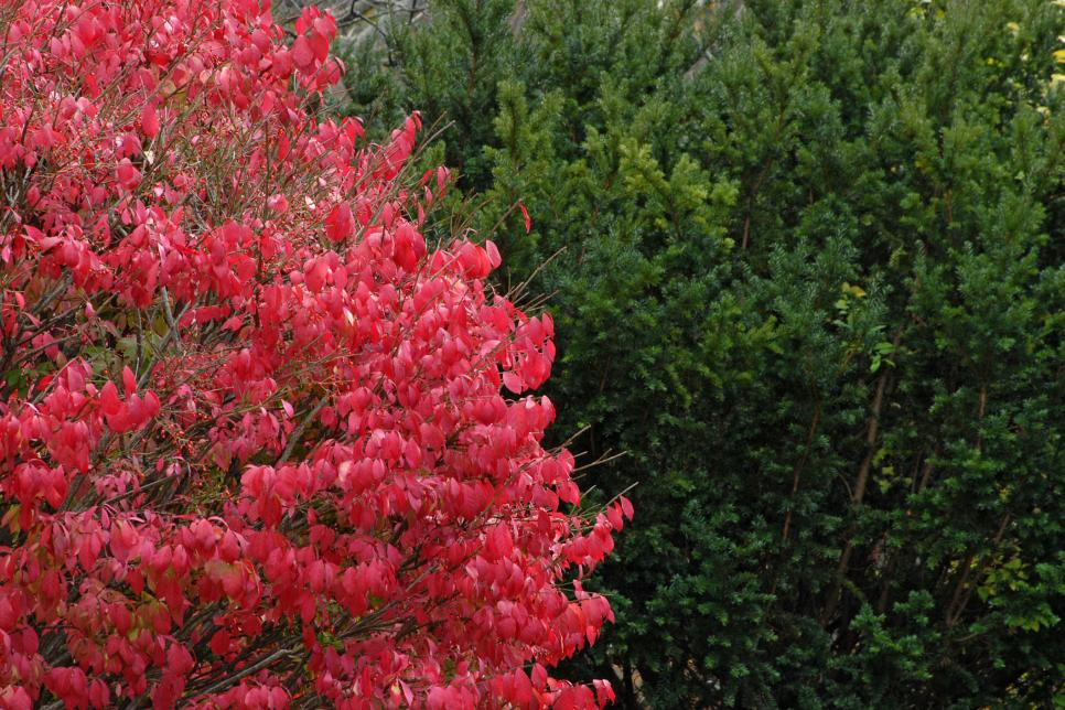 Burning Bush (Euonymus alatus)