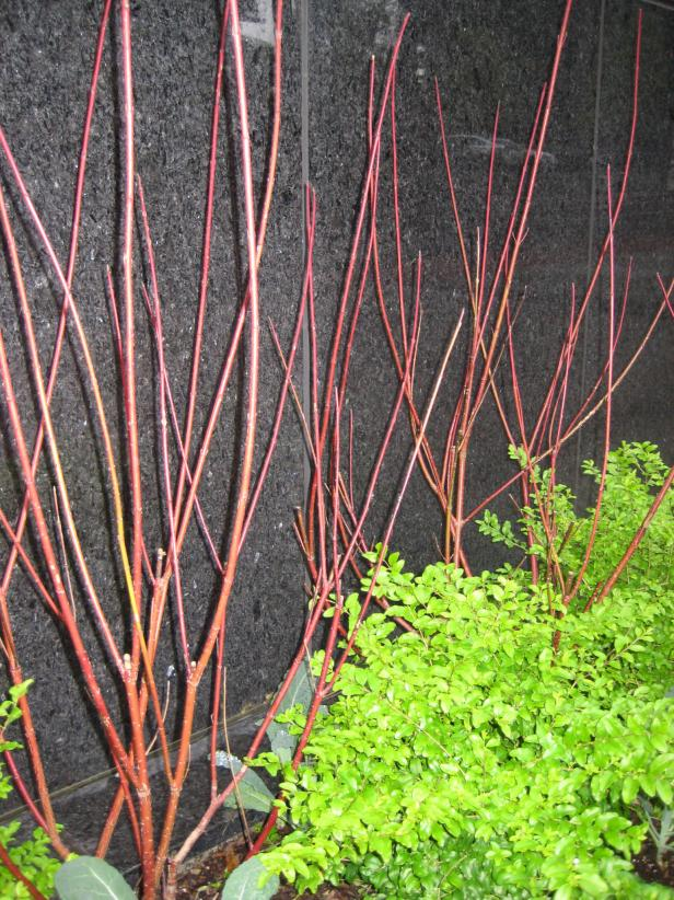 Red Twig Dogwood (Cornus sericea)